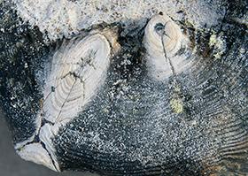 tauchende Fische